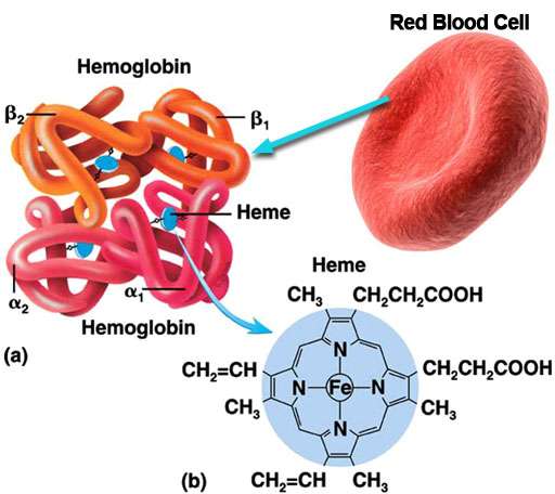 erythrocyte and hemoglobin relationship counseling